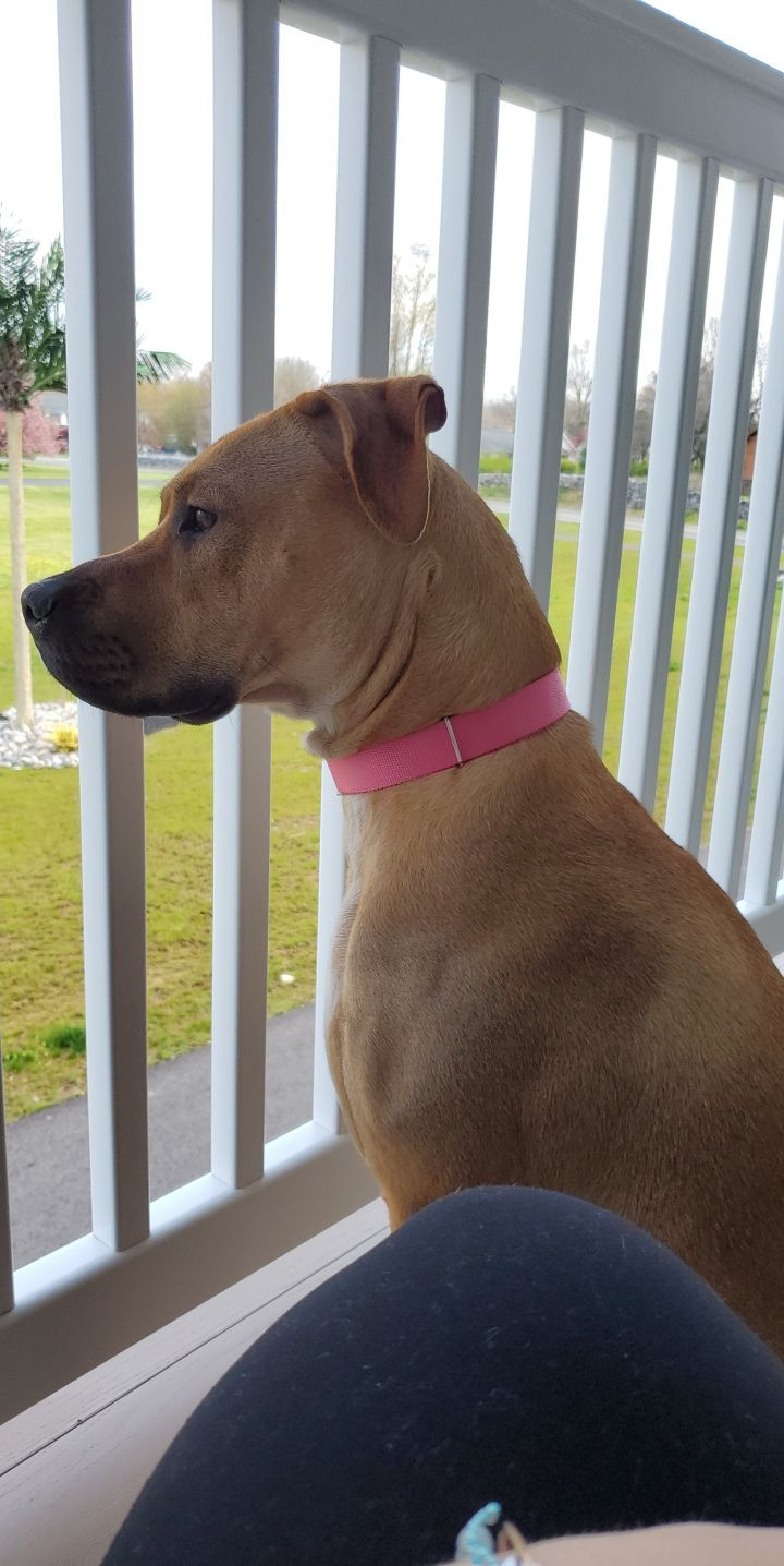 Autumn, an adoptable Labrador Retriever & Boxer Mix in Boiling Springs, PA