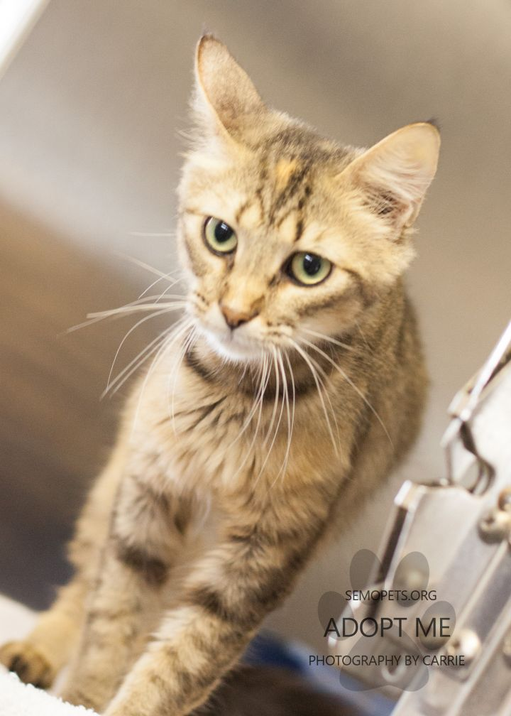 Abby, an adoptable Domestic Short Hair Mix in Cape Girardeau, MO
