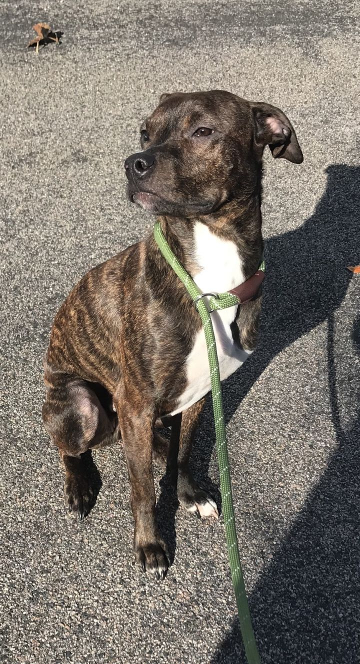 Rudy, an adopted Pit Bull Terrier Mix in Wayzata, MN