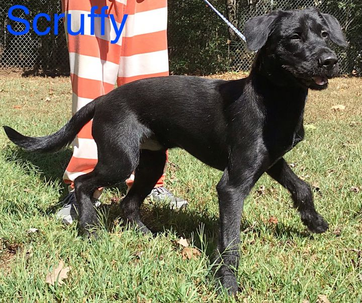 Scruffy, an adopted Terrier & Retriever Mix in Dahlonega, GA