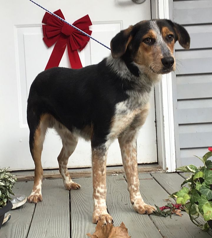 Higgins, an adopted Coonhound Mix in Dahlonega, GA