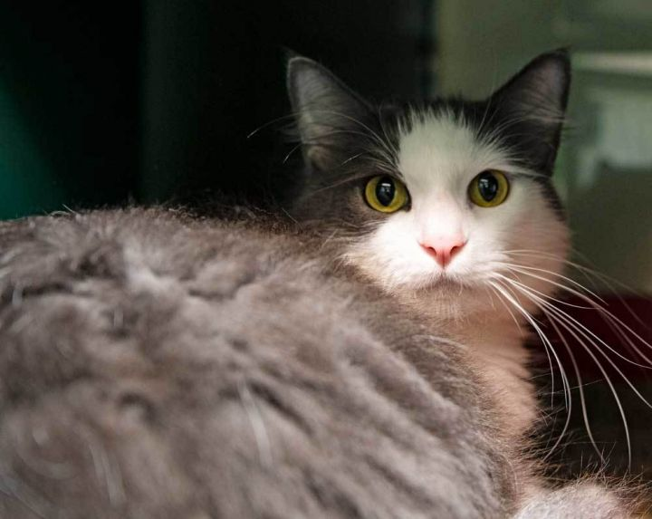 Ben, an adopted Domestic Long Hair Mix in Port Townsend, WA