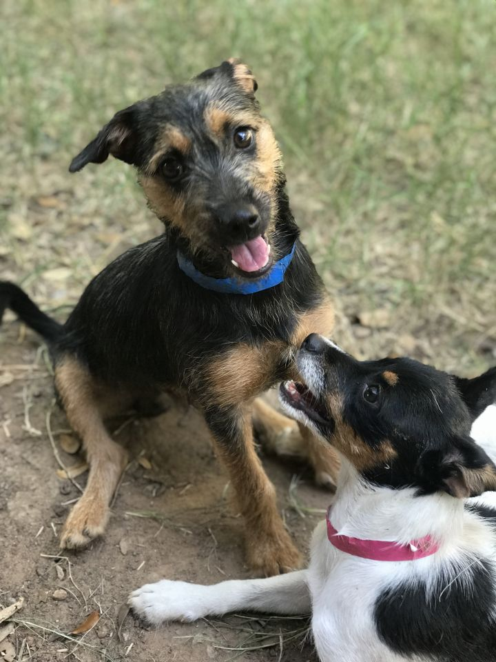 Liam, an adoptable Wirehaired Dachshund & Rat Terrier Mix in Temple, TX