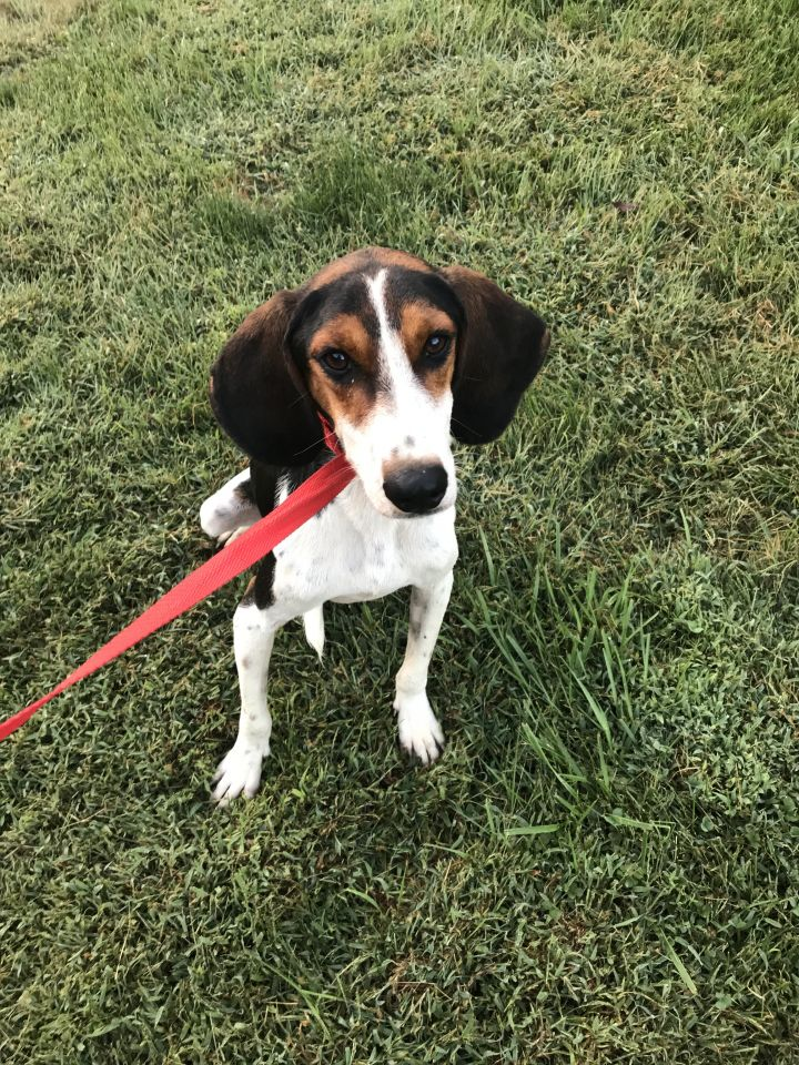 Calhoun, an adoptable Treeing Walker Coonhound in Spencer, IN