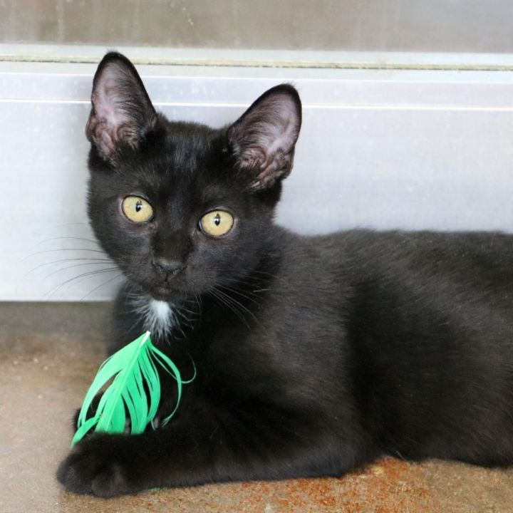 Pig Pen, an adoptable Domestic Short Hair Mix in Carencro, LA