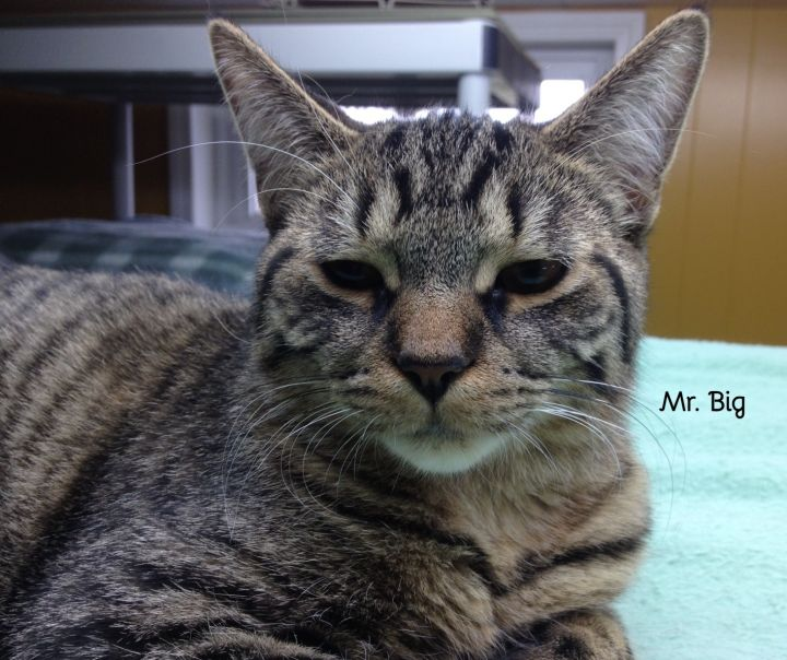 Mr. Big, an adopted Domestic Short Hair in Chatham, ON