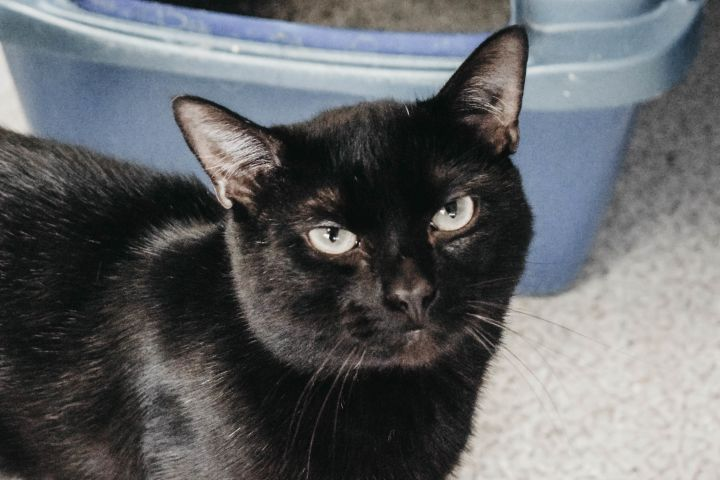 Stevie, an adoptable Domestic Short Hair Mix in Longview, WA