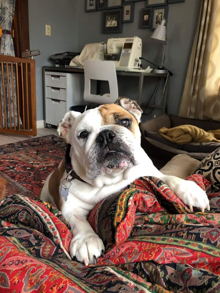Lux, an adopted English Bulldog in Decatur, IL