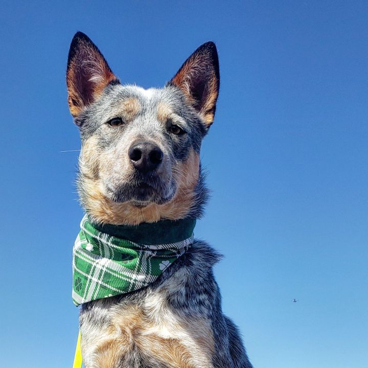 Cedar, an adopted Australian Cattle Dog / Blue Heeler in Marshfield, MA