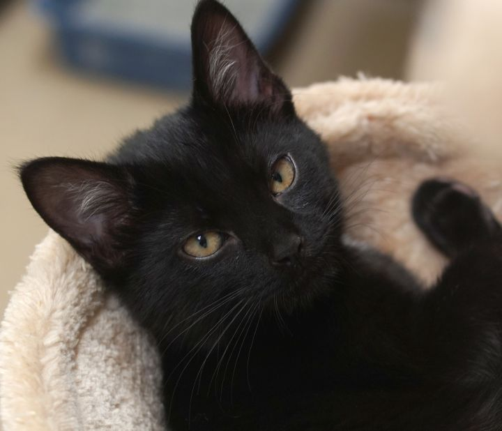 Gruffi, an adoptable Domestic Short Hair in Naperville, IL