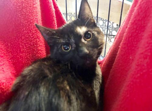 Star, an adoptable Tortoiseshell & Domestic Short Hair Mix in Springfield, OR