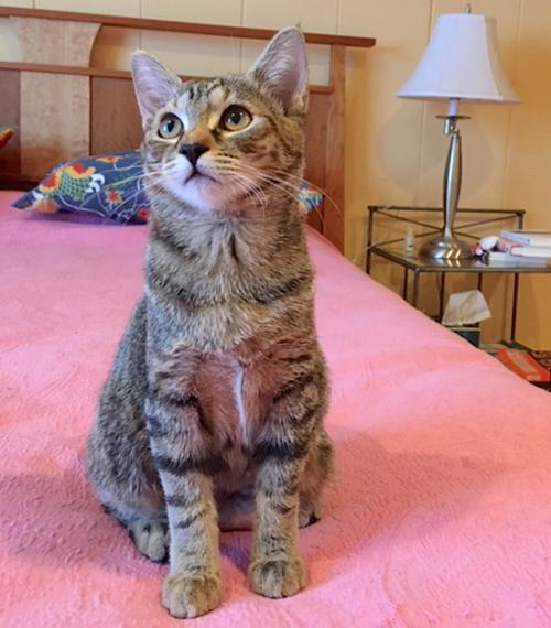 Kabocha, an adopted Torbie & Domestic Short Hair Mix in Springfield, OR