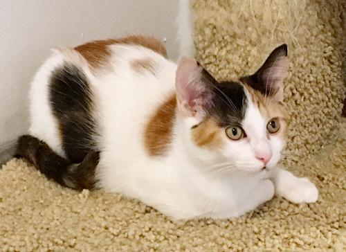 Fifi, an adoptable Calico & Domestic Short Hair Mix in Springfield, OR