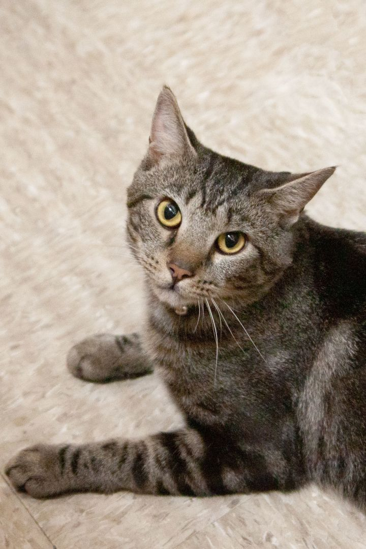 Griffin, an adoptable Tabby Mix in Waxhaw, NC
