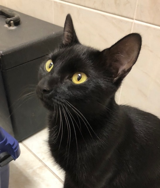 Asia (LE), an adoptable Domestic Short Hair in Little Falls, NJ