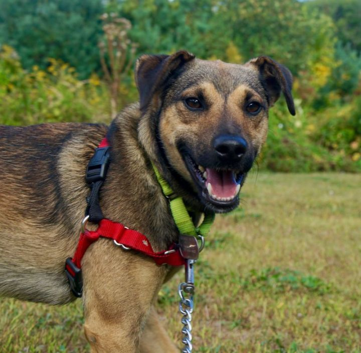 Marty (waiting in foster), an adopted German Shepherd Dog & Feist Mix in Scituate, MA