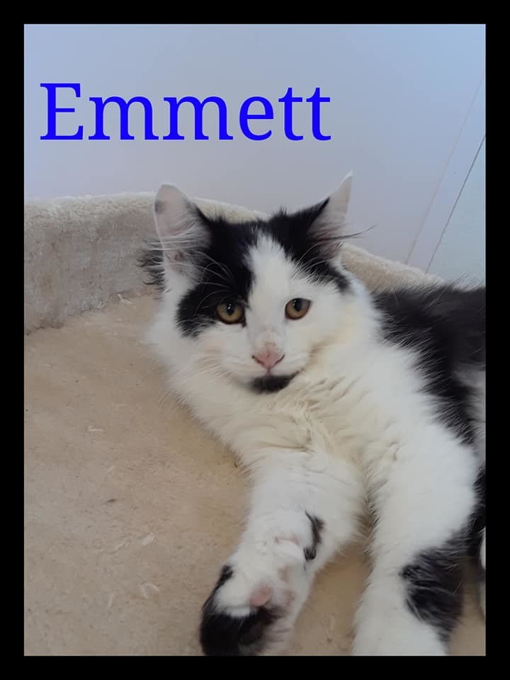 Emmett, an adopted Domestic Long Hair Mix in Prineville, OR