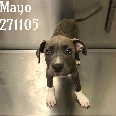 MAYO, an adoptable Pit Bull Terrier Mix in Macon, GA