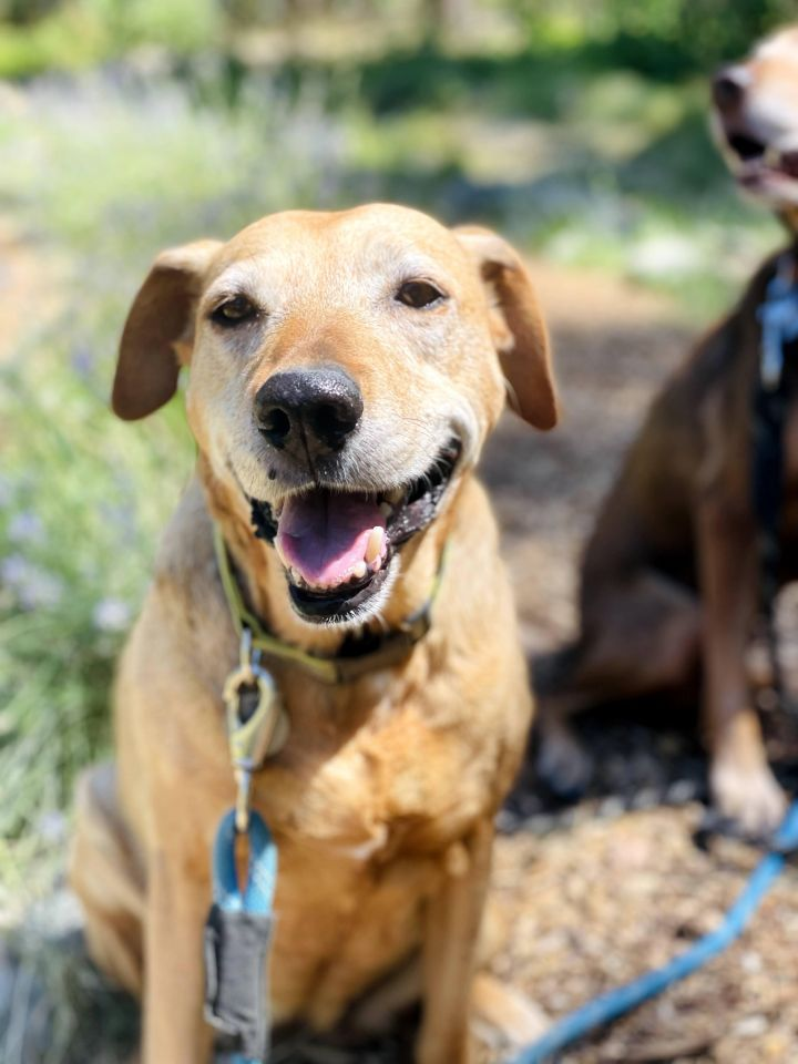Sister, an adoptable Rhodesian Ridgeback Mix in Jacksonville, OR