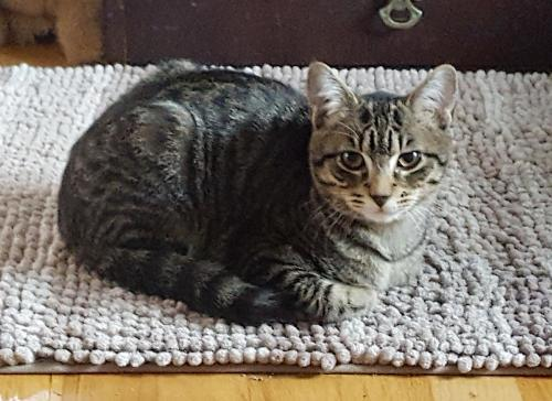 O'Malley, an adoptable Tabby & Domestic Short Hair Mix in Springfield, OR