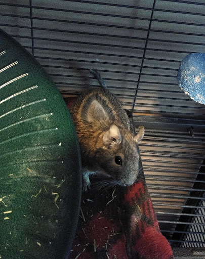 Vork, an adopted Degu in Saint Paul, MN