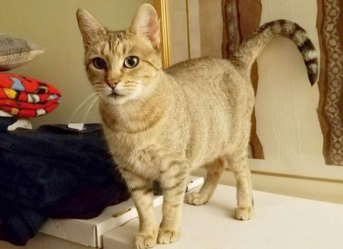 Elizabeth, an adoptable Tabby & Domestic Short Hair Mix in Springfield, OR