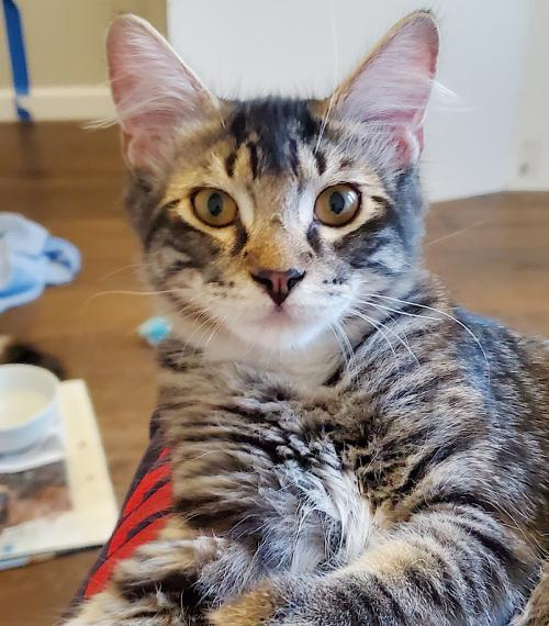 Hermes, an adoptable Tabby & Domestic Medium Hair Mix in Springfield, OR