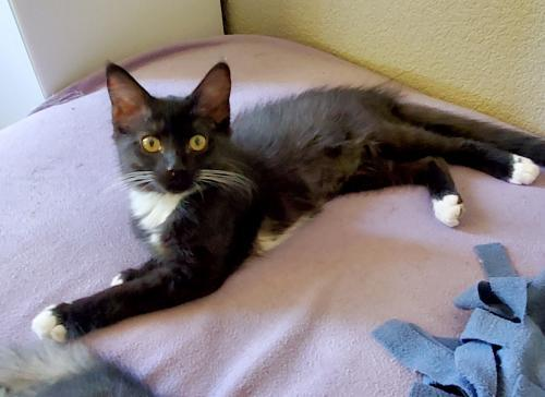 Persephone, an adoptable Tuxedo & Domestic Medium Hair Mix in Springfield, OR