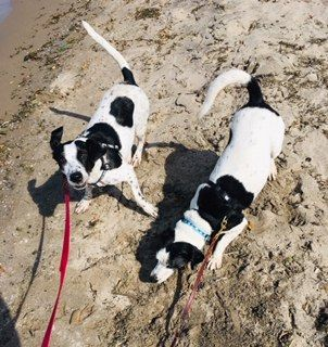 Rocky and Jersey, an adopted Jack Russell Terrier in Toronto, ON