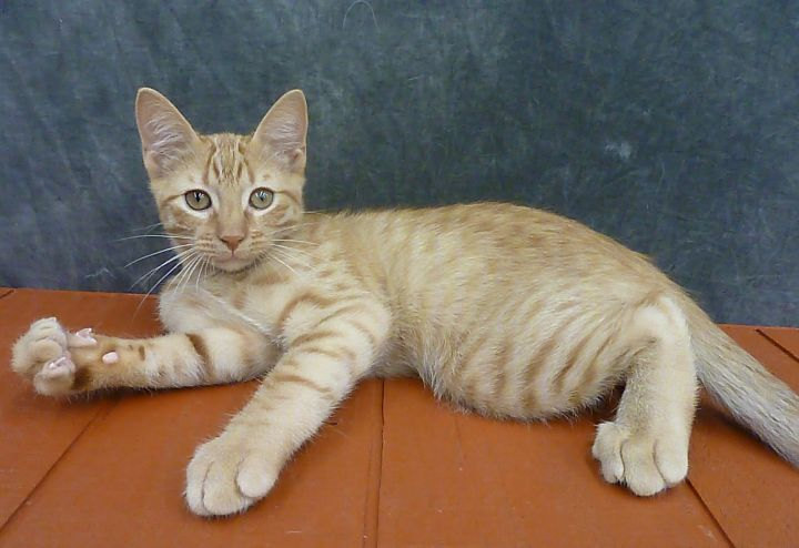 Giantsbane, an adoptable Domestic Short Hair & Tabby Mix in League City, TX