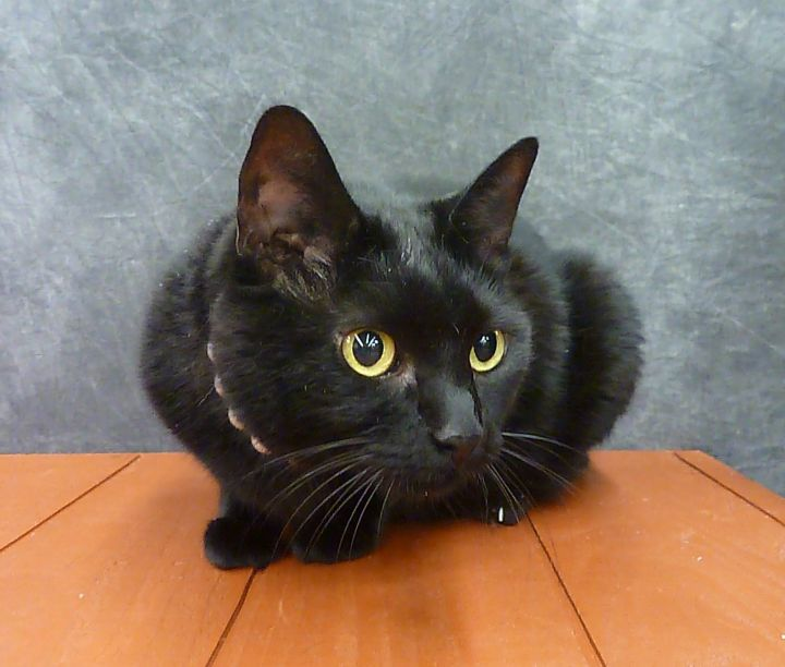 Jackie - Manx Bombay, an adoptable Manx & Bombay Mix in League City, TX