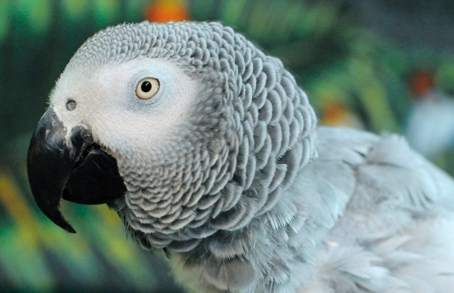 Flapper, an adopted African Grey in Asheville, NC