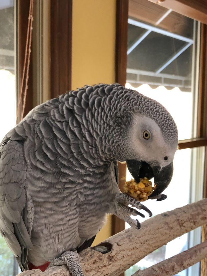 Shadow, an adopted African Grey in Asheville, NC