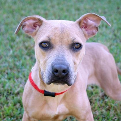 Jaime, an adoptable Terrier Mix in Loxahatchee, FL