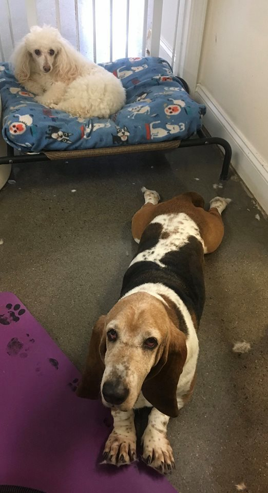 Trudee, an adopted Basset Hound in Knoxville, TN