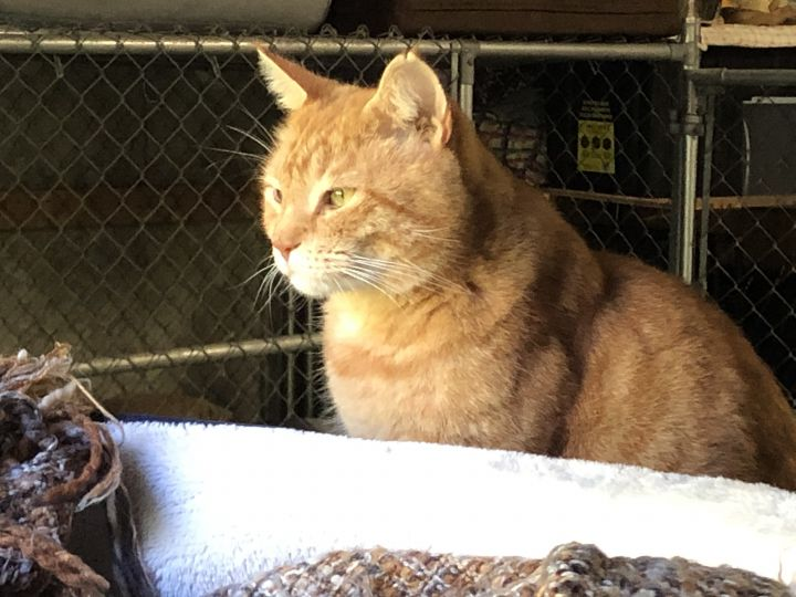 Garfield, an adoptable Domestic Short Hair Mix in Somers, CT
