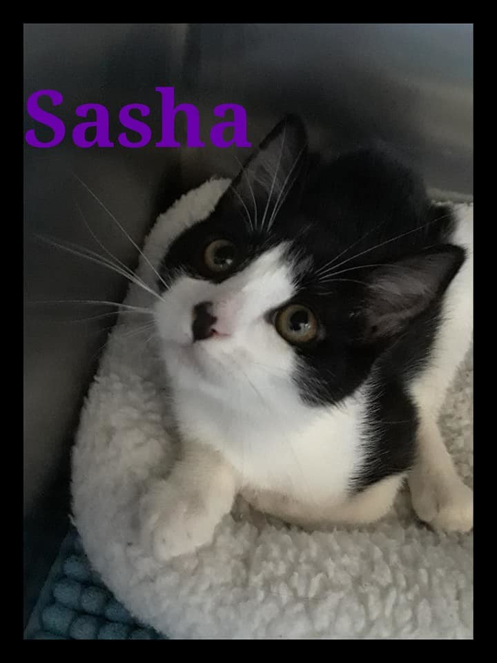Sasha, an adoptable Domestic Short Hair Mix in Prineville, OR
