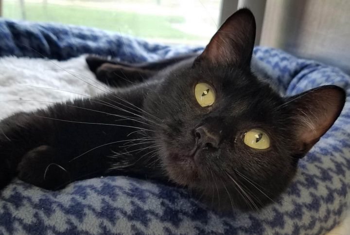 Pie, an adopted Domestic Short Hair in Marshfield, WI