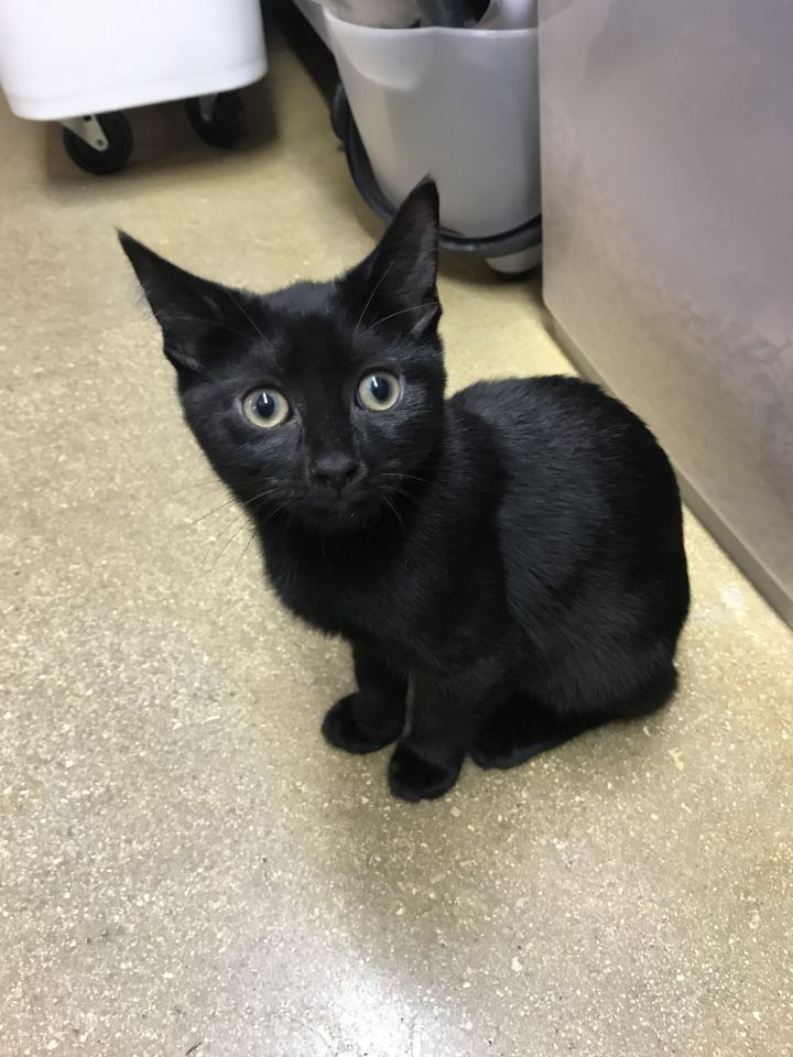 Maizie, an adopted Domestic Short Hair in Oakland Park, FL