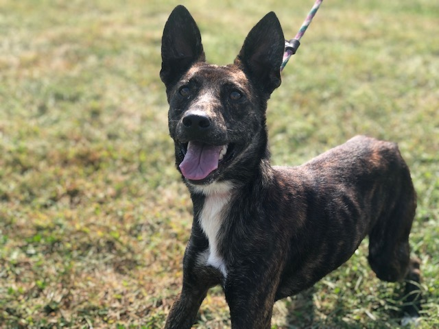 Bobby, an adoptable German Shepherd Dog Mix in Cynthiana, KY