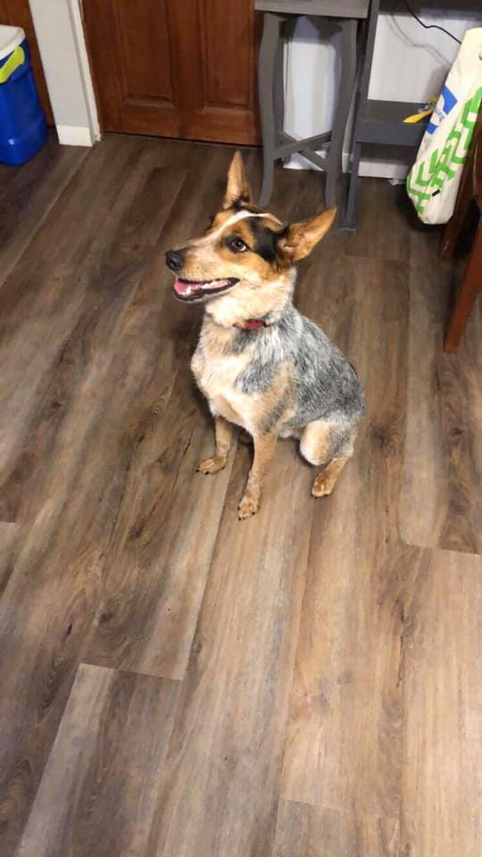 Ash, an adopted Cattle Dog Mix in Manhattan, KS