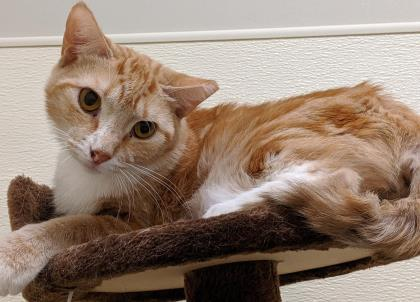 whiskers, an adoptable Domestic Short Hair in Clarks Summit, PA