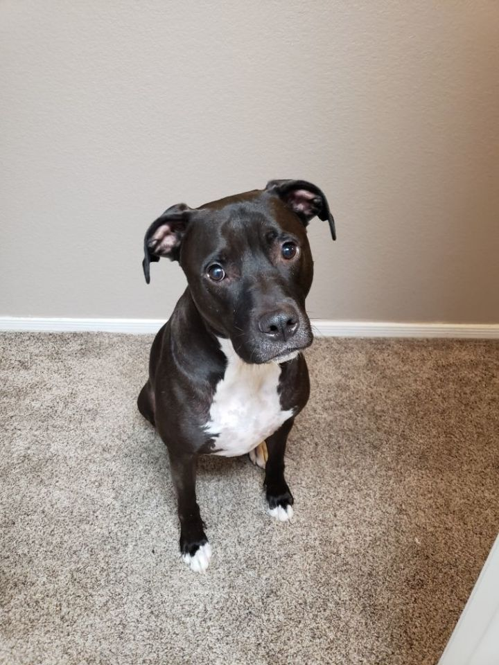 Biggie, an adoptable Pit Bull Terrier in Chandler, AZ