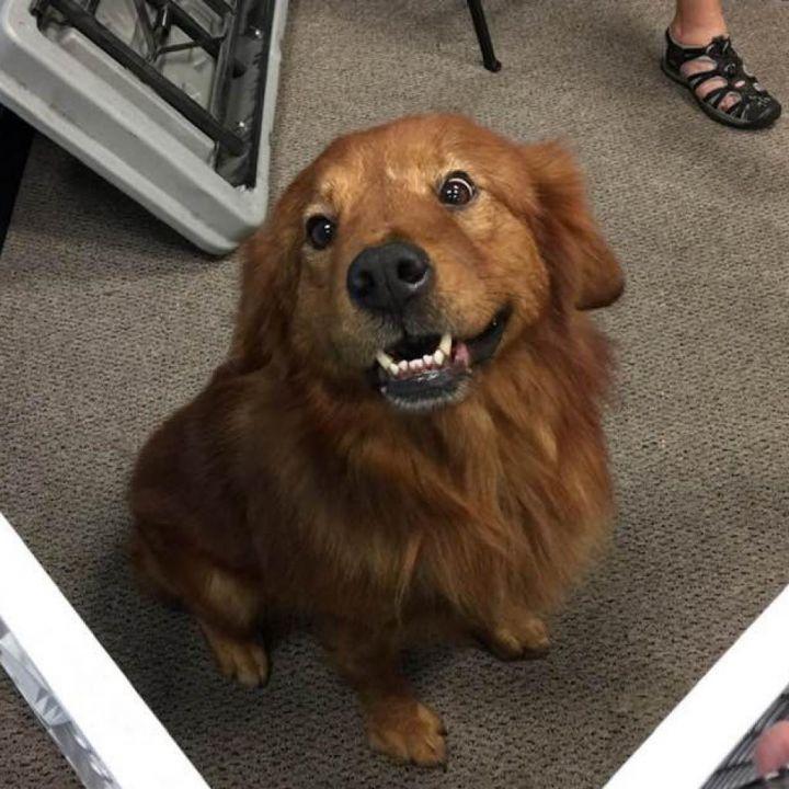 Golden Retriever Puppies Wichita Kansas L2sanpiero
