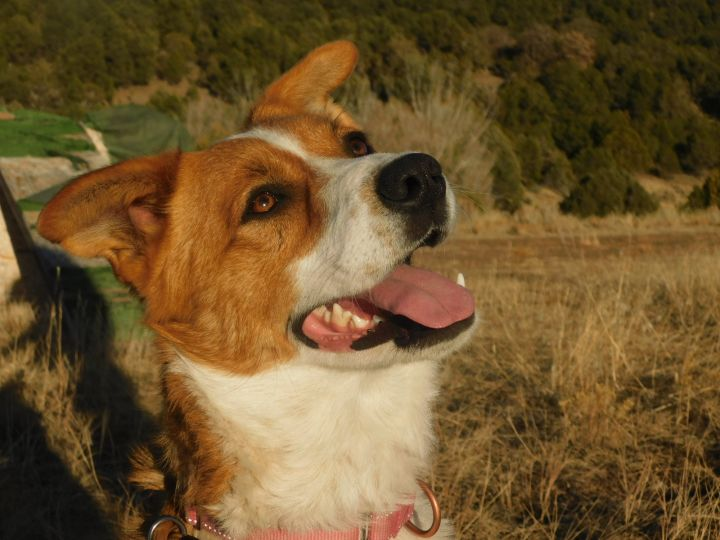 Sunny, an adoptable Border Collie in Ridgway, CO