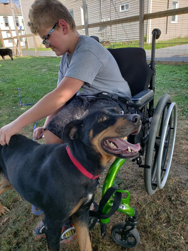Allie, an adopted Rottweiler in Boiling Springs, PA