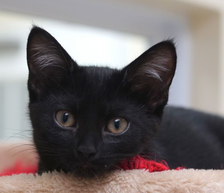 Chrissy, an adopted Domestic Short Hair in Naperville, IL