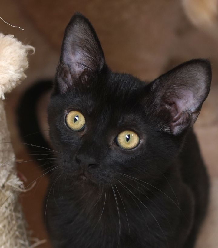 Janet, an adoptable Domestic Short Hair in Naperville, IL