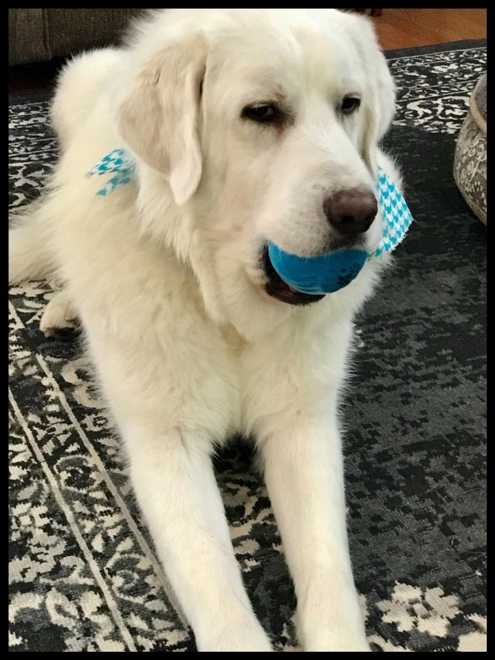 Baron, an adopted Great Pyrenees in Wayzata, MN