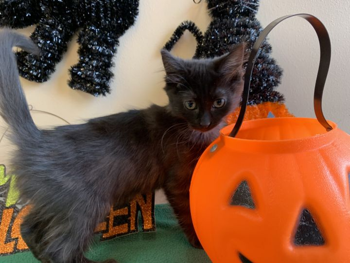 Granny Smith, an adopted Domestic Medium Hair in Madison, WI